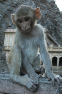 Young monkey at the Monkey Temple, Jaipur