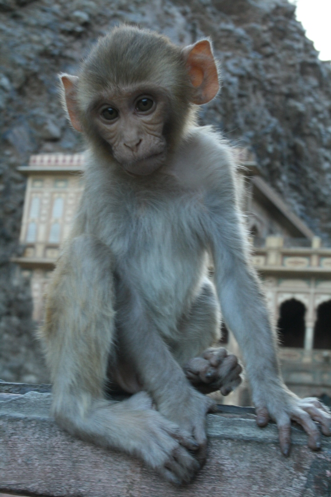 Infant Rhesus Macaque at the Monkey Temple, Jaipur