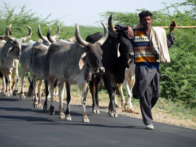 Banni pastoralist with his herd