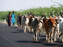 Pastoralists with their herd, Kachcch