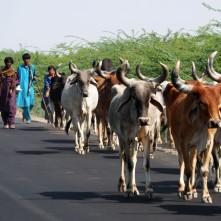 Traffic, Banni grasslands