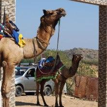 Camel taxis at Kala Dungar