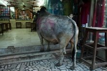 This bull goes to 'work' every day in this shop