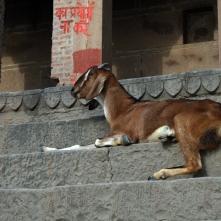 Goat at ghat