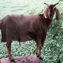 Goat in coat
